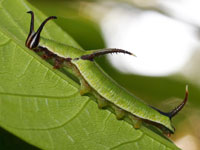 イシガケチョウの幼虫