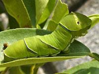 アゲハチョウの幼虫図鑑