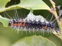 アカヒトリの幼虫