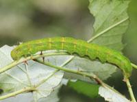 アカキリバの幼虫
