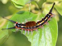 アカモンドクガの幼虫