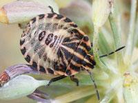 アカスジカメムシの幼虫