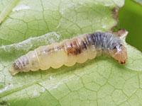 アケビヒメハマキの幼虫