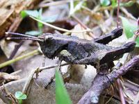 タイワンモリバッタの幼虫