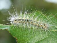 アメリカシロヒトリの幼虫