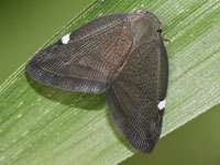 アミガサハゴロモ