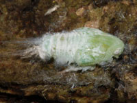 アオバハゴロモの幼虫