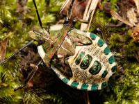 アオクチブトカメムシの幼虫