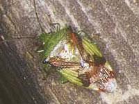 アオモンツノカメムシ