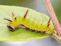 アサマイチモンジの幼虫