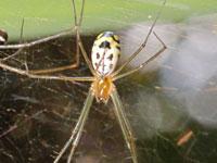 アシナガサラグモ