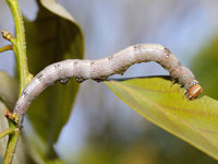 アヤシラフクチバの幼虫