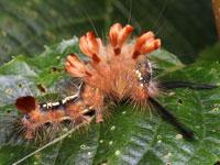 ブドウドクガの幼虫