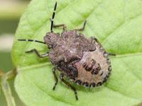 ブチヒゲカメムシの幼虫
