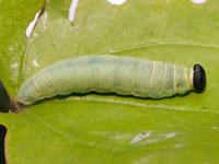 セセリチョウの幼虫図鑑