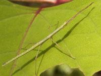 エダナナフシの幼虫