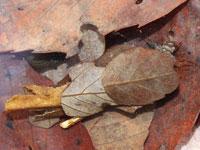 エグリトビケラ科の一種の幼虫