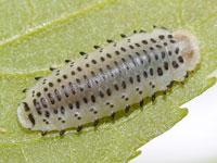 エノキハムシの幼虫