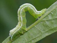 エゾギクキンウワバの幼虫