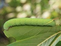 エゾシモフリスズメの幼虫
