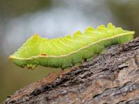 エゾヨツメの幼虫