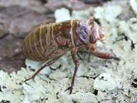 エゾゼミの幼虫