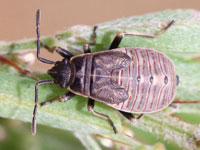 フタモンホシカメムシの幼虫