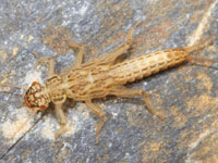 フタスジクサカワゲラの幼虫