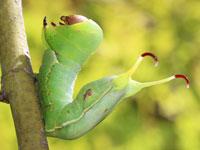 ギンモンスズメモドキの幼虫