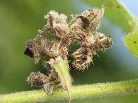 ギンスジアオシャクの幼虫