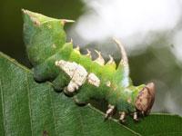 ギンシャチホコの幼虫