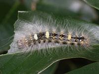ゴマケンモンの幼虫