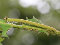 ハガタツバメアオシャクの幼虫