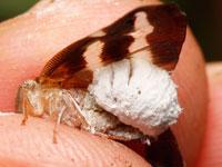 ハゴロモヤドリガの幼虫
