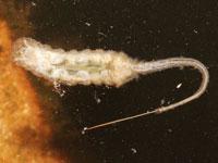 ハナアブ科の一種の幼虫