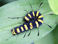 ハンノケンモンの幼虫