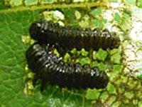 ハンノキハムシの幼虫