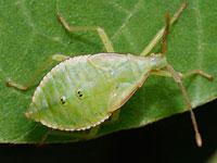 ハラビロヘリカメムシ
