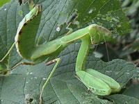 カマキリの幼虫図鑑