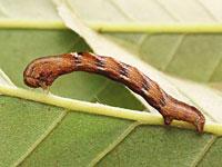 ハラゲチビエダシャクの幼虫