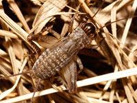 ハラオカメコオロギの幼虫