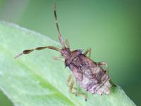 ハリカメムシの幼虫