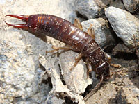 ハサミムシの幼虫