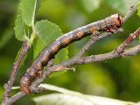 ハスオビエダシャクの幼虫