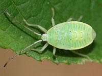 ヘラクヌギカメムシの幼虫