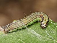 ヒメアカマダラメイガの幼虫