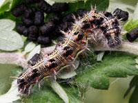 ヒメアカタテハの幼虫