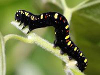 ヒメエグリバの幼虫