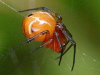 ヒメグモ(ニホンヒメグモ)