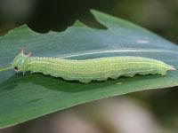 ヒメキマダラヒカゲの幼虫